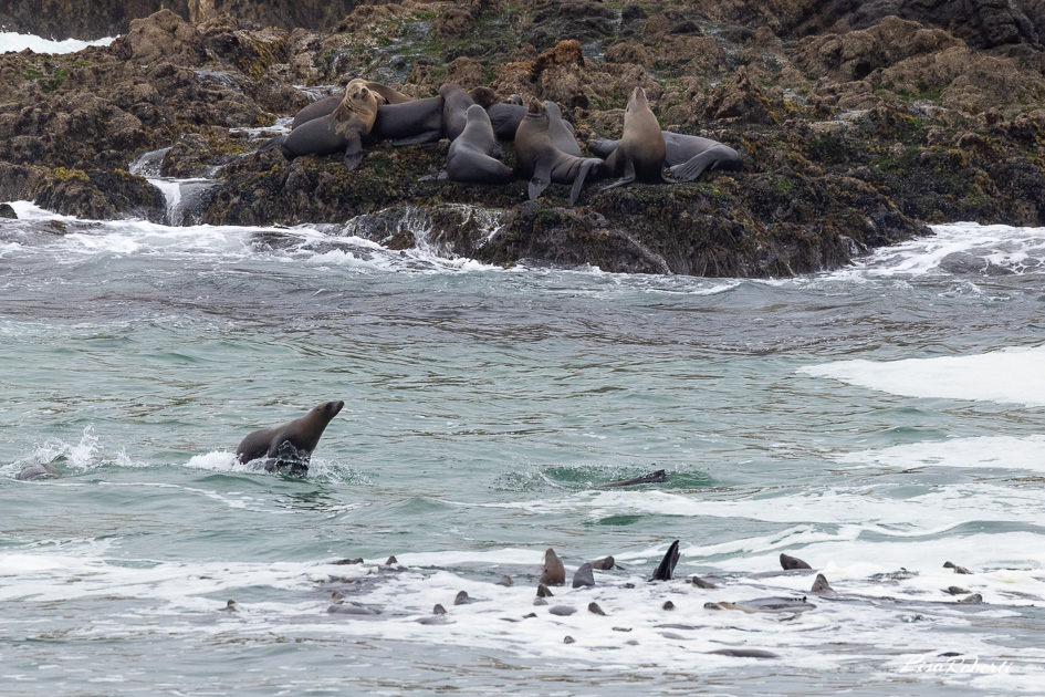 Sea lions swimming on 17 mile drive