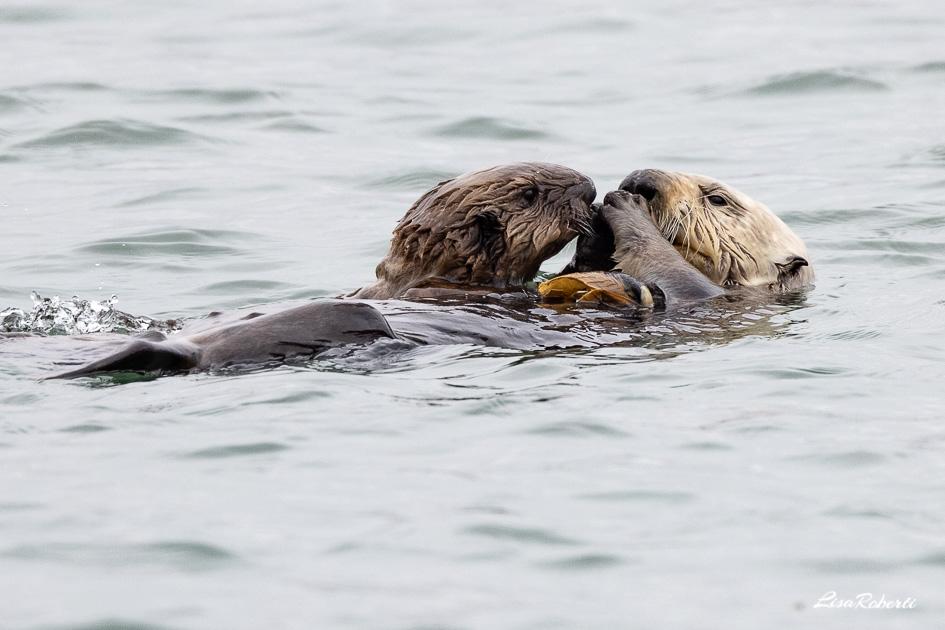 Mama and baby sea otter