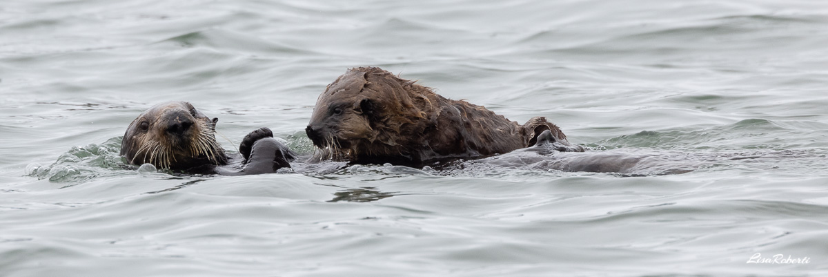 panorama of a baby and mama sea otter