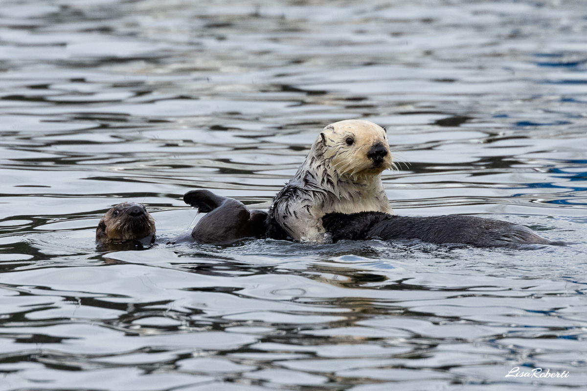 sea otter baby resting on mama