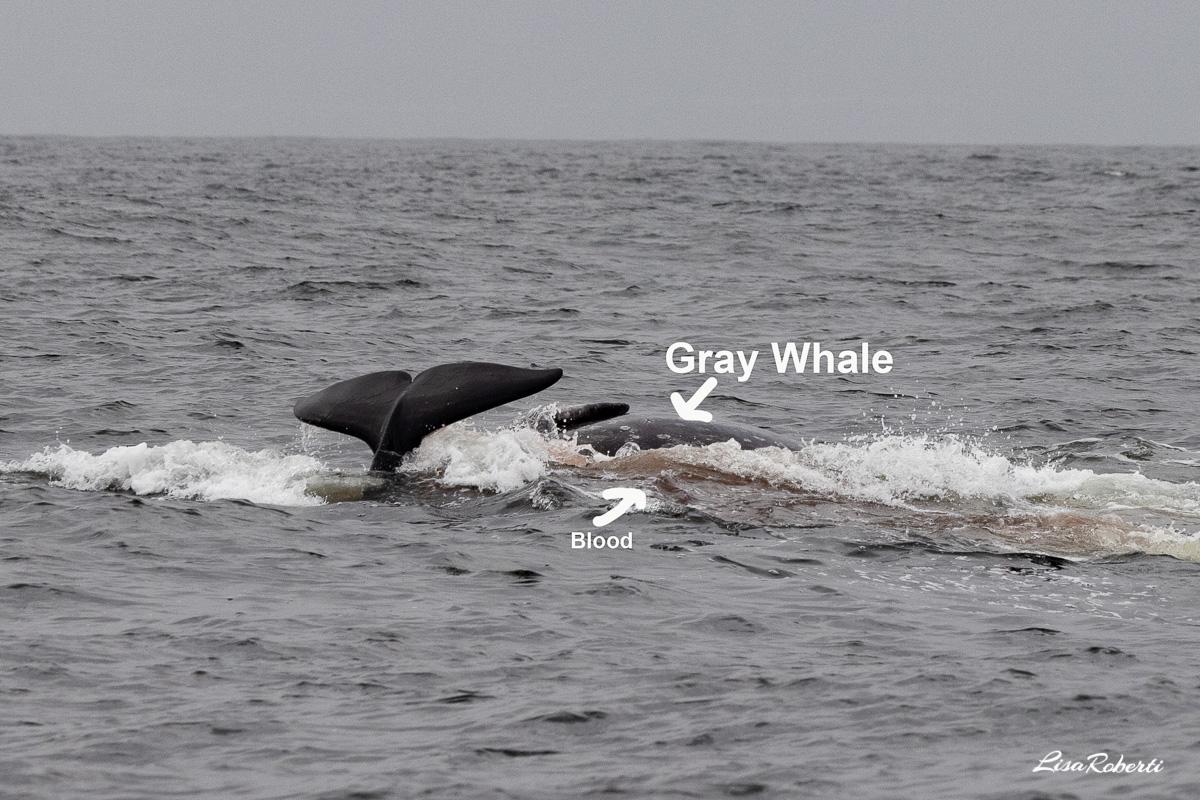 gray whale attack