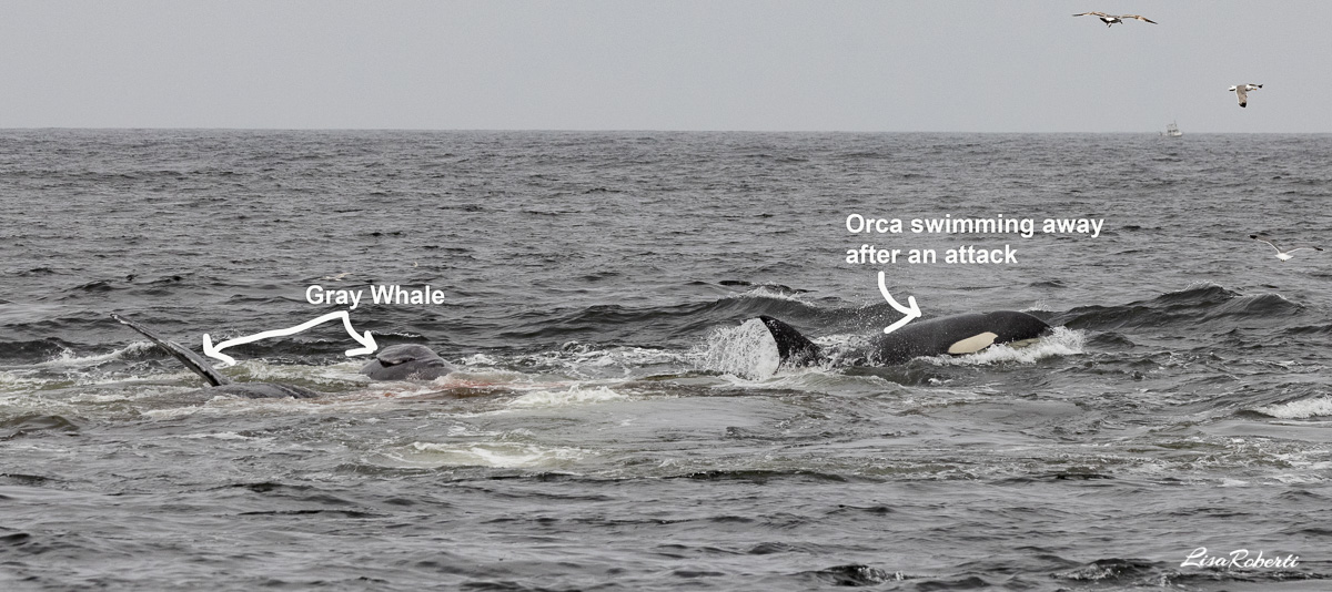 orca attack on gray whale