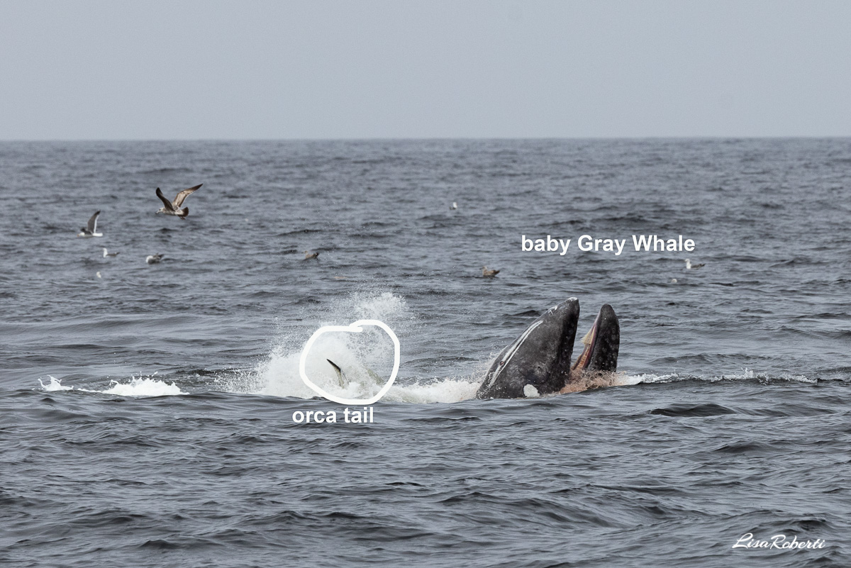 orca tries to separate the gray whale calf