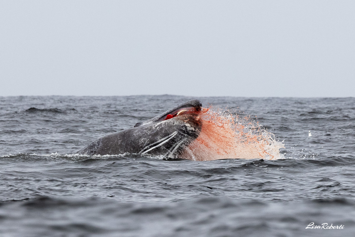 gray whale baby spewing blood