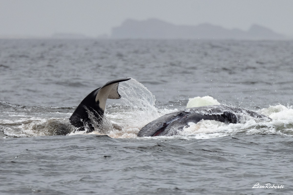 orca attacking the gray whale