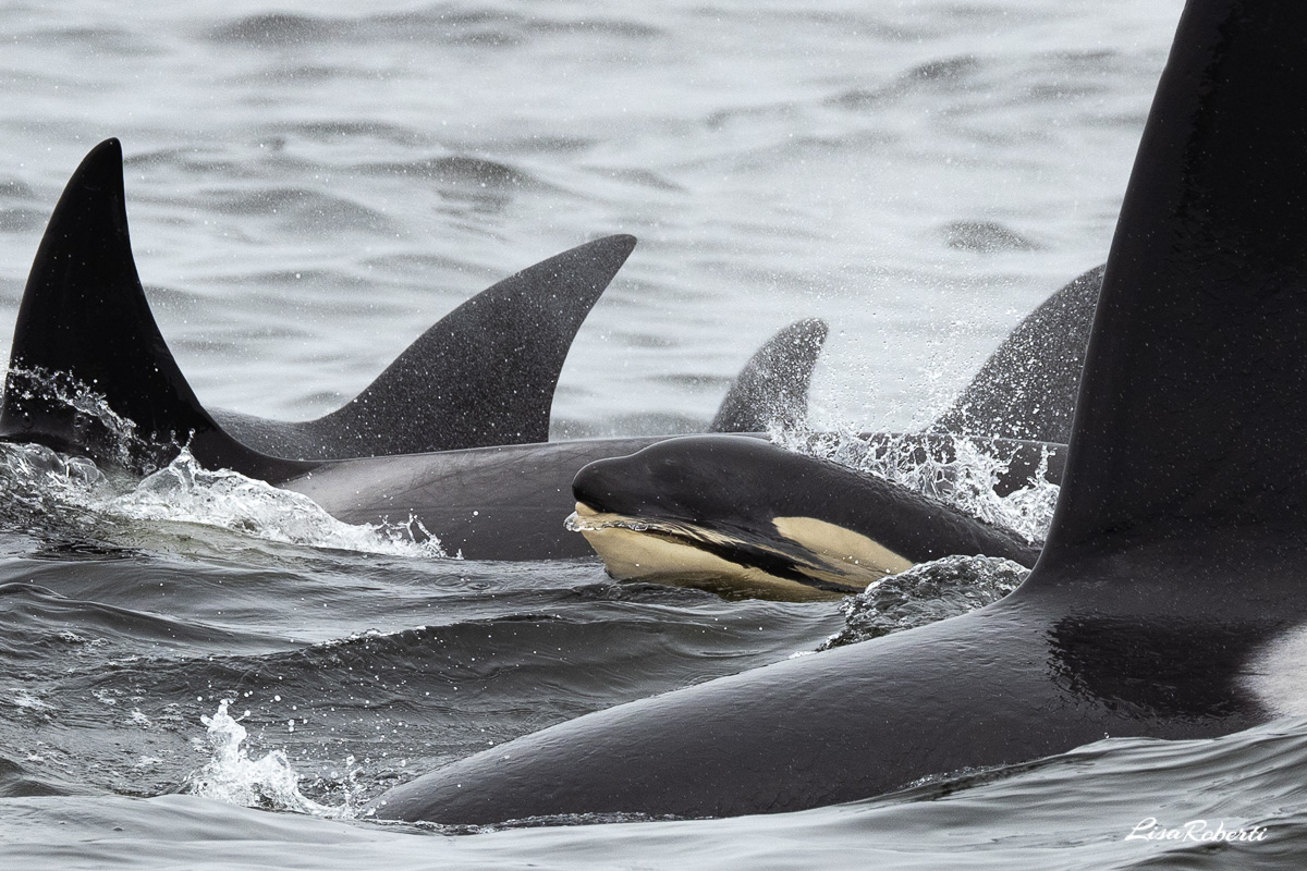 orca pod coming in for more attacks