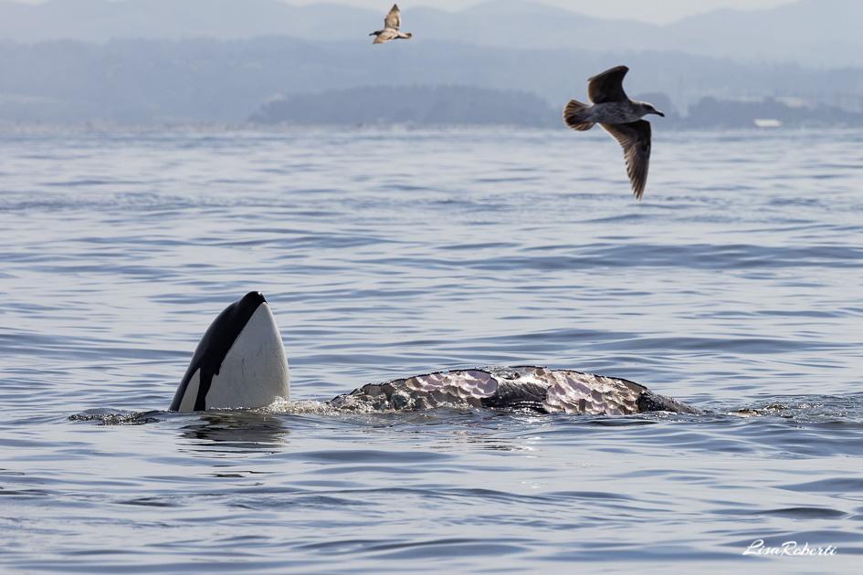 Orca spy hopping near the carcass of a baby gray whale