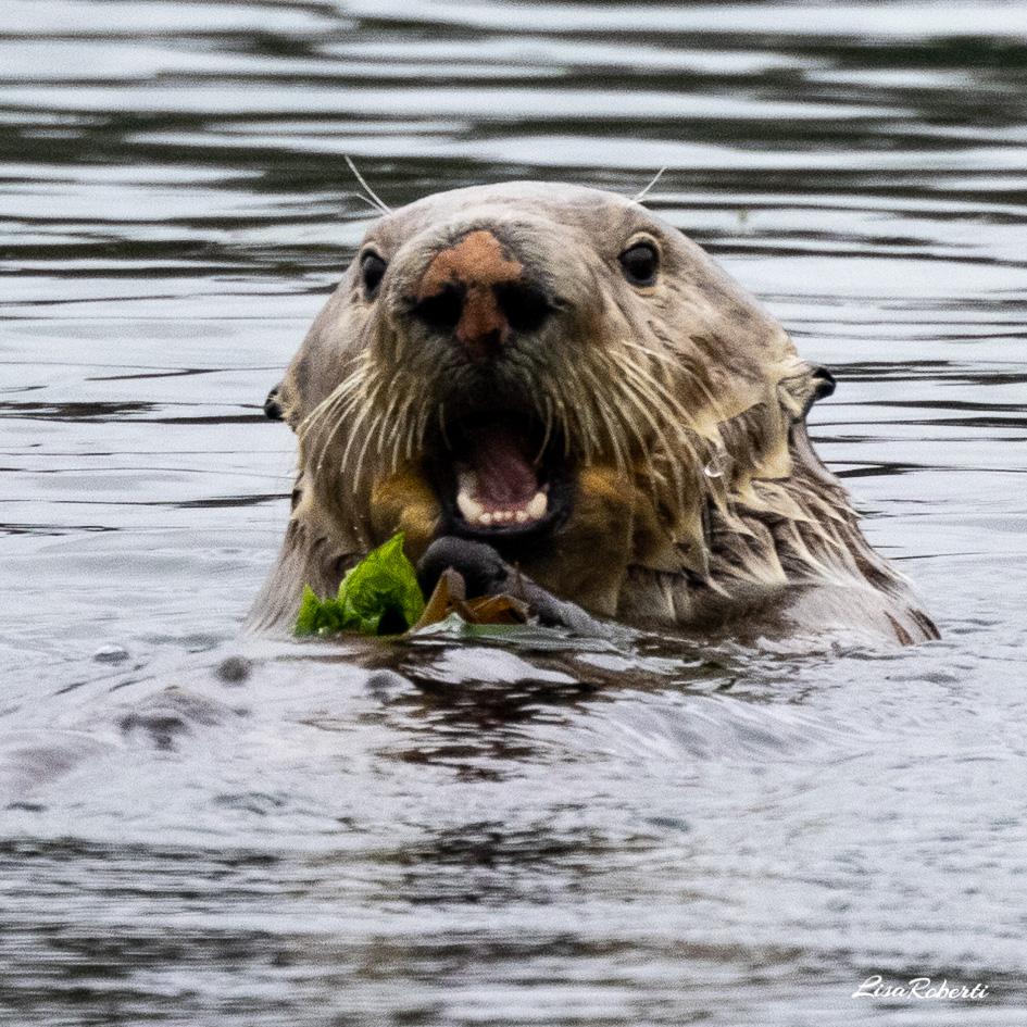 wet sea otter portrait